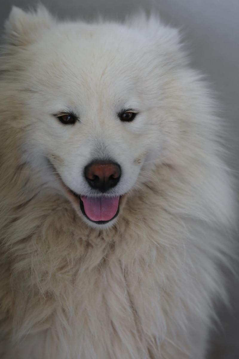 fehér, kutya, imádnivaló, keres, szemét, fajtiszta, törzskönyv, házi kedvenc, cuki, Szőrme