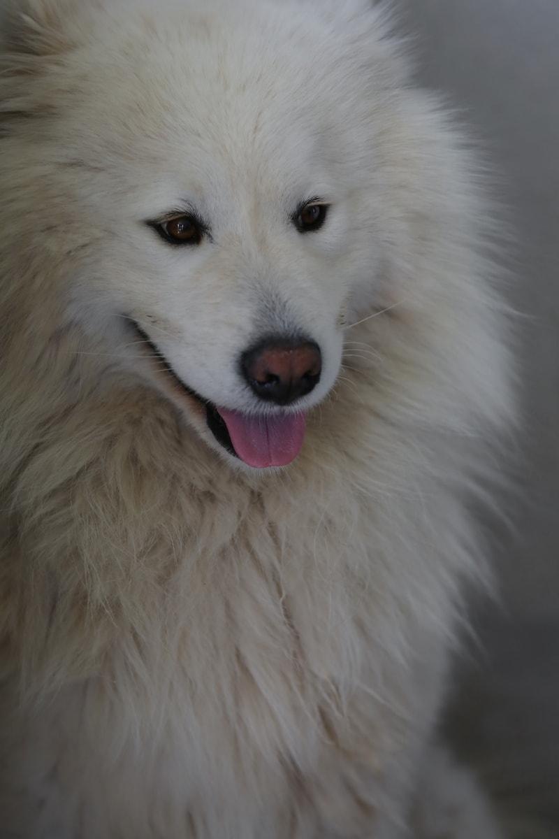 bílá, pes, hlava, ústa, nos, Chlupaté, domácí zvíře, kožešina, portrét, oko