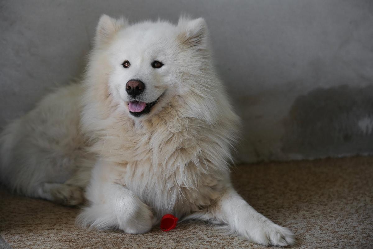 blanc, furry, chien, patte, de race, Fourrure, canine, animal de compagnie, mignon, domestique
