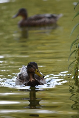 waterfowl, mallard, wildlife, water, duck bird, duck, lake, bird, swimming, nature
