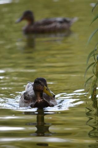 loài thủy điểu, vịt cổ xanh, động vật hoang dã, nước, vịt con, vịt, hồ nước, con chim, bơi lội, thiên nhiên