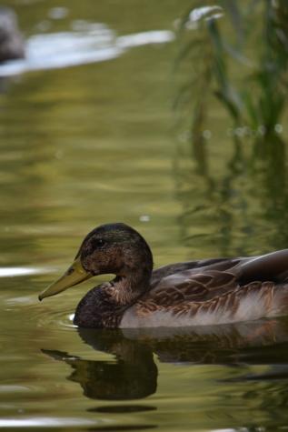 divočina, kachna divoká, kachna, boční pohled, divoká zvěř, pták, brodivý pták, plavání, bazén, příroda