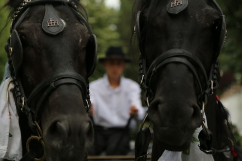 animals, horses, harness, carriage, head, close-up, black, animal, cavalry, horse