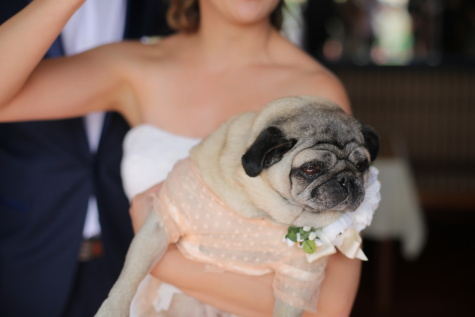wedding dress, wedding, dog, bride, costume, canine, woman, love, cute, portrait