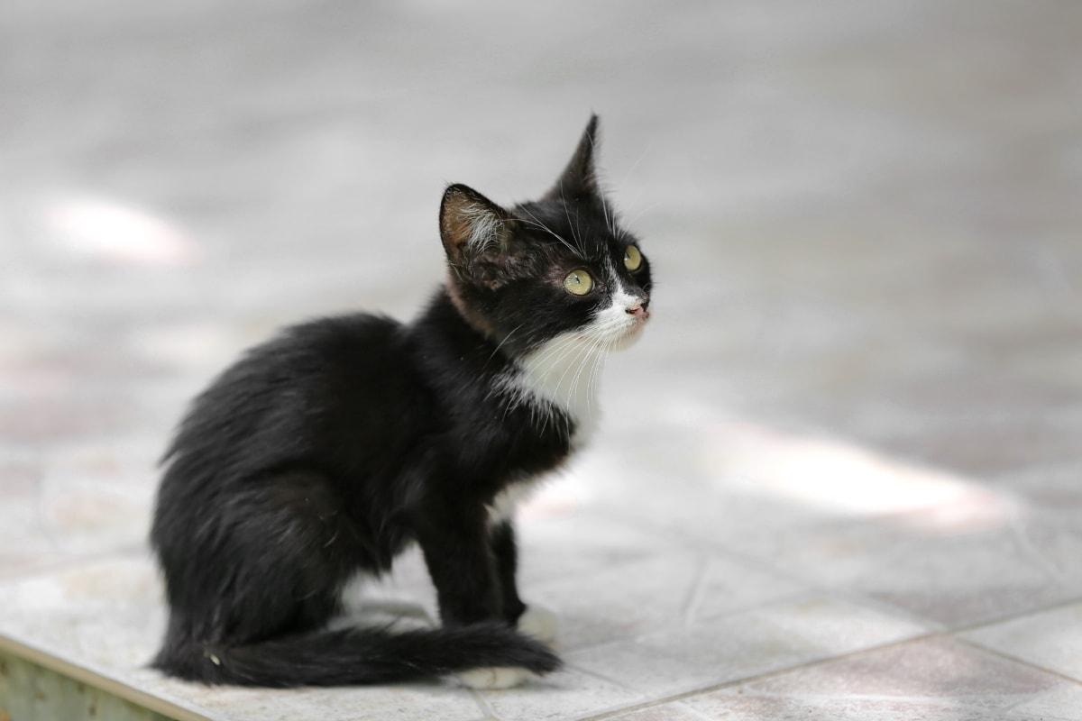 Schwarz, Kätzchen, Seitenansicht, katze, junge, niedlich, katzenartig, Tier, Pelz, Auge