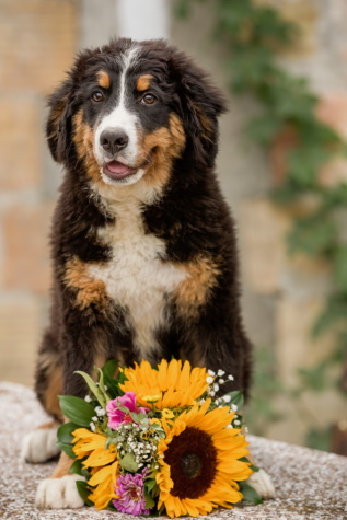 scottish sheepdog, shepherd dog, bouquet, sunflower, dog, pet, eye, fur, funny, outdoors