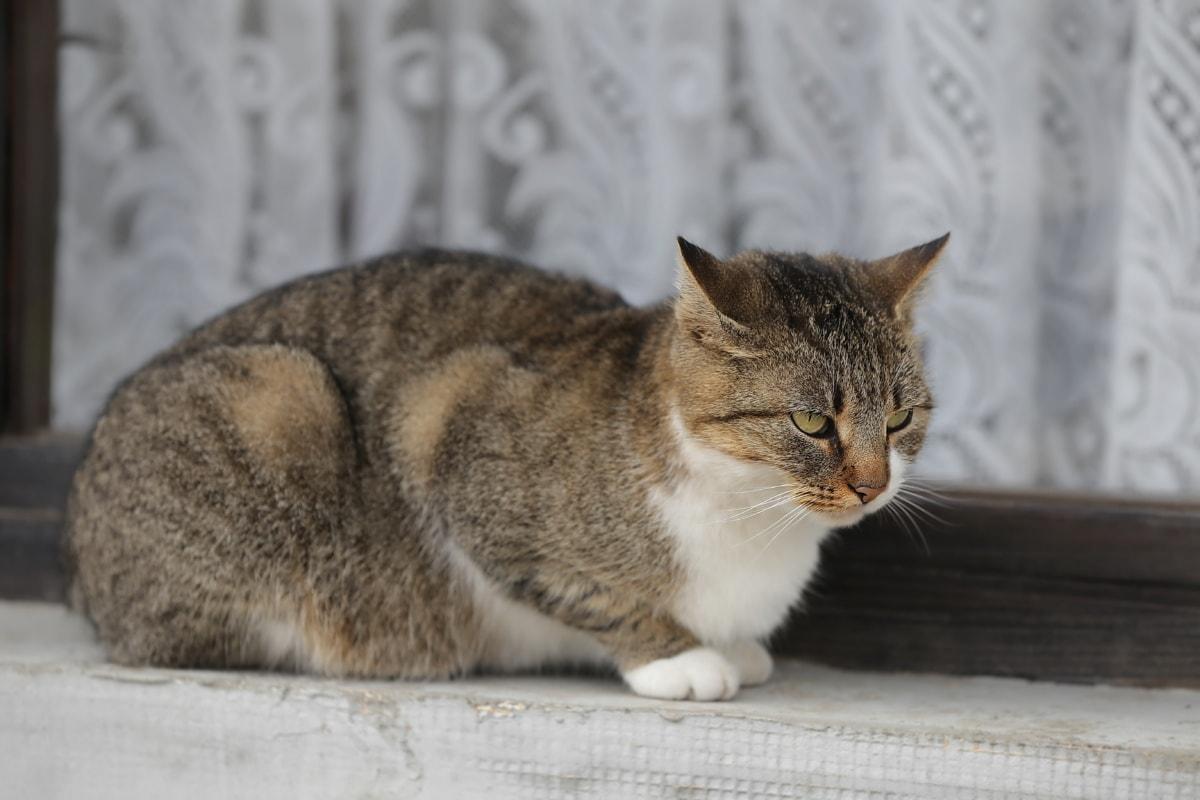 Kot domowy, pasiasty kot, okno, relaksujący, kiciuś, oko, kotek, Koci, Kot, Futro