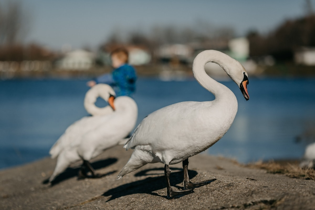 swan, beautiful, neck, grace, coastline, water, wildlife, aquatic bird, waterfowl, beak