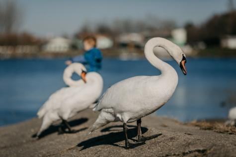 labuť, krásné, krk, milost, pobřeží, voda, divoká zvěř, vodní pták, vodní ptactvo, zobák