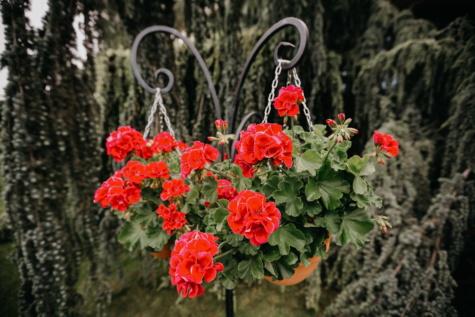 Geranium, blomkruka, gjutjärn, hängande, stilla liv, naturen, trädgård, ört, spring, blomma