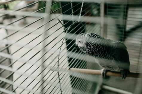 papagaio, pássaro, gaiola, cerca, pena, fio, aço, natureza, Borrão, animal