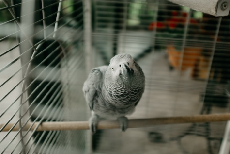 parrot, grey, pet, cage, bird, animal, fence, feather, cute, portrait