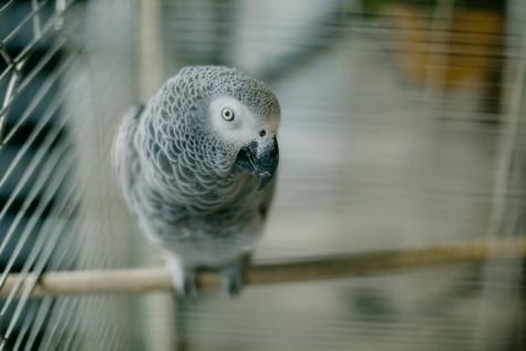 burung, Kakatua, merapatkan, kepala, burung tropis, abu-abu, sayap, paruh, satwa liar, kabur