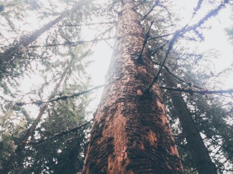 Struktur, hoch, weiße Fichten, Koniferen, Wald, Bäume, Holz, Natur, Landschaft, Nadelbaum