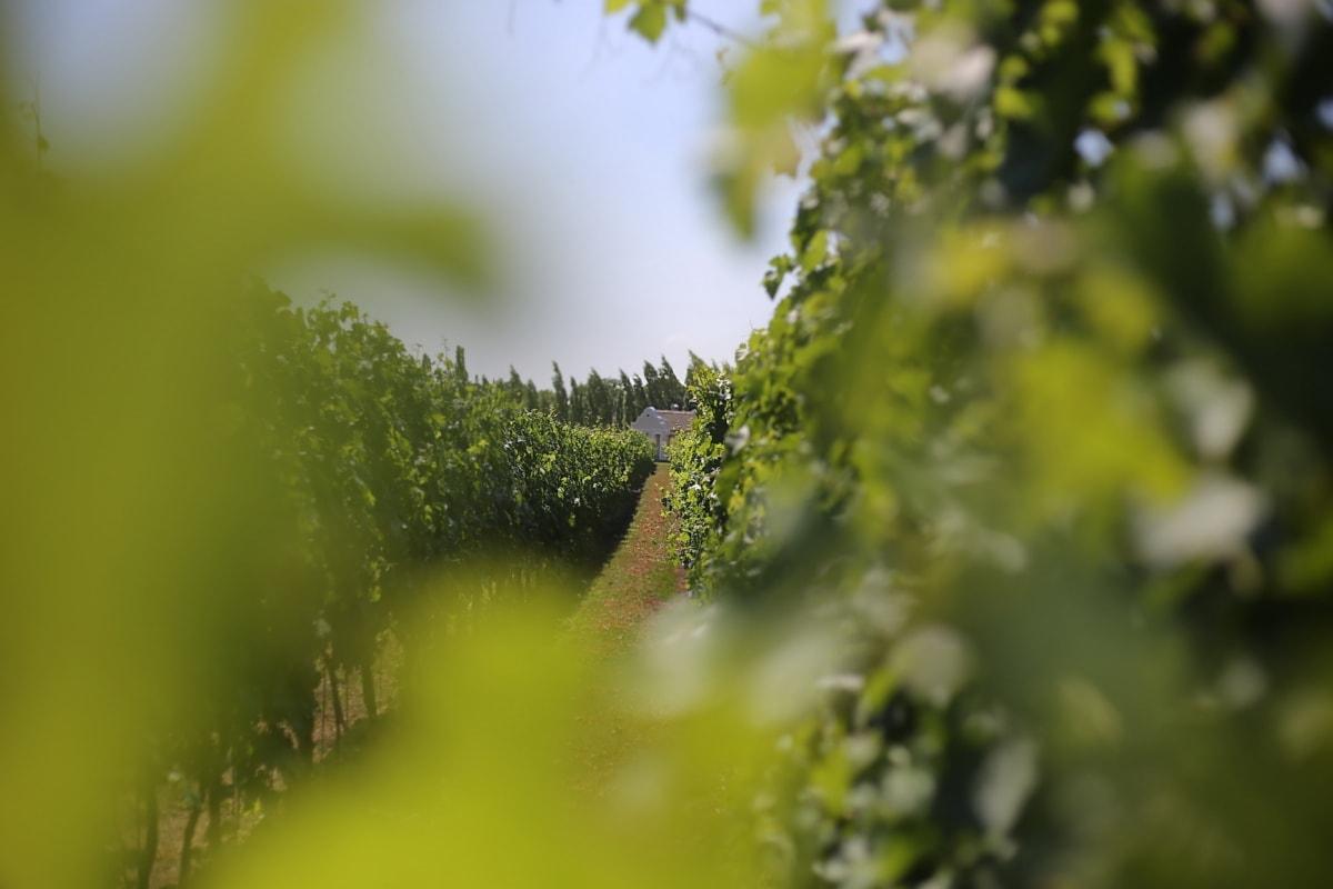 виноградник, Расстояние, Сельский дом, дерево, природа, размытие, завод, лето, лист, на открытом воздухе