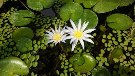 Seerose, weiße Blume, Blätter, blühen, grüne Blätter, Teich, Lotus, Wasserpflanze, Natur, aquatische