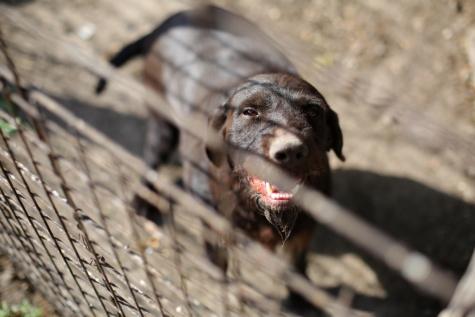 anjing berburu, coklat, kepala, anjing, hewan, potret, Manis, mata, sendirian, pagar
