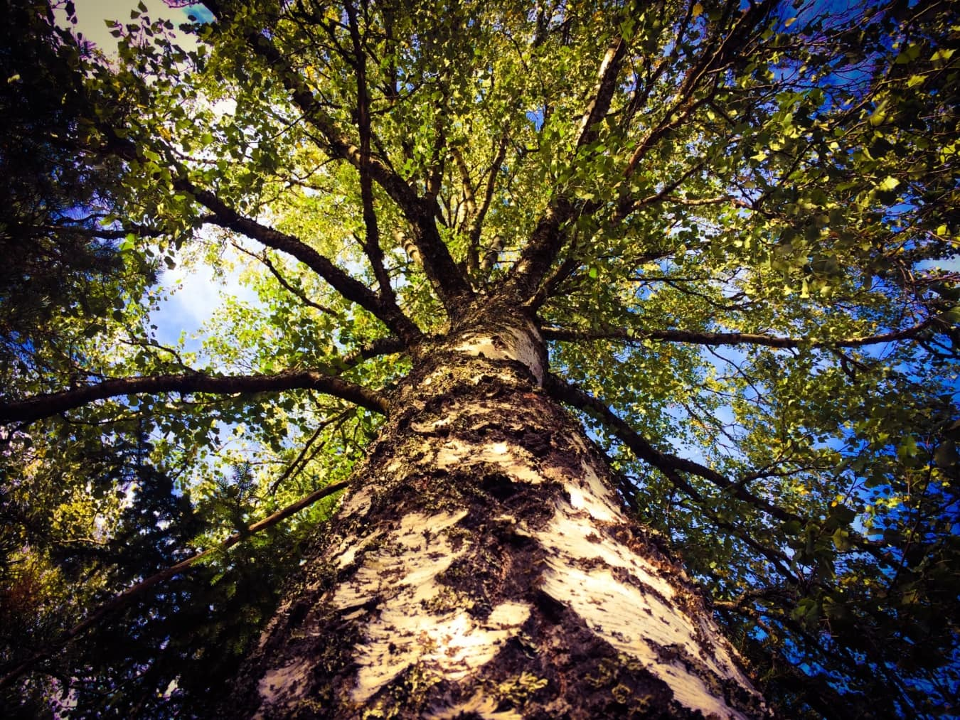 underneath, big, tree, tall, wood, nature, plant, forest, leaf, fair weather
