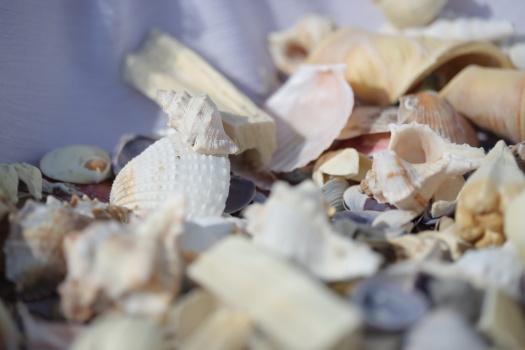 seashell, details, decoration, many, shell, shellfish, nutrition, dry, mollusk, gastropod