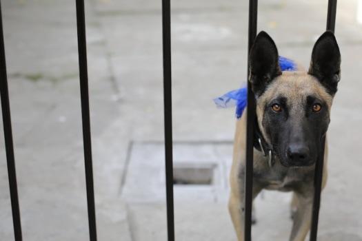 Ciobanescul, câine, aşteaptă, singur, strada, natura, portret, ochi, în aer liber, în căutarea