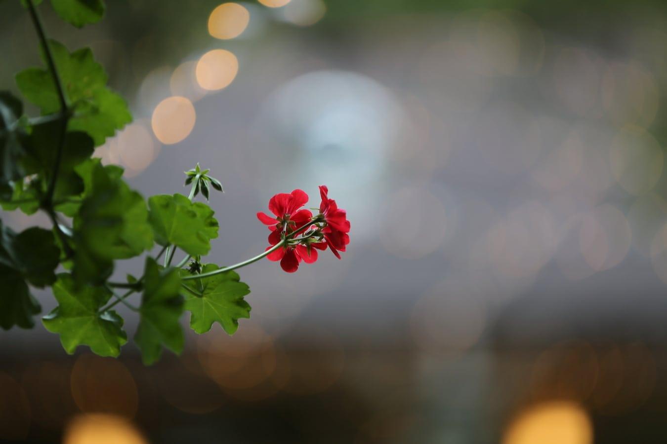 géranium, rétro-éclairé, floue, brindille, plante, brouiller, feuille, nature, couleur, flore