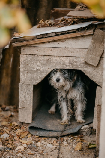 schnauzer, animal, dog, shed, chain, purebred, hunting dog, abandoned, cute, wood