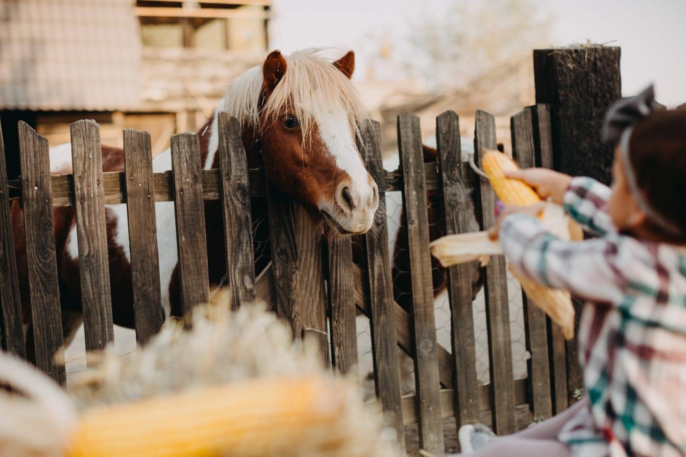 pony, paard, dorp, platteland, hek, voeding, kind, maïs, diervoeders, eten