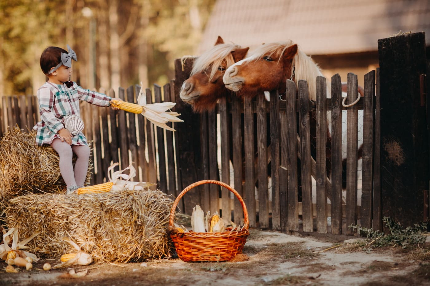 Lattenzaun, Pony, Pferde, Fütterung, Mais, untergeordnete, Landschaft, Ackerland, Ranch, Dorf