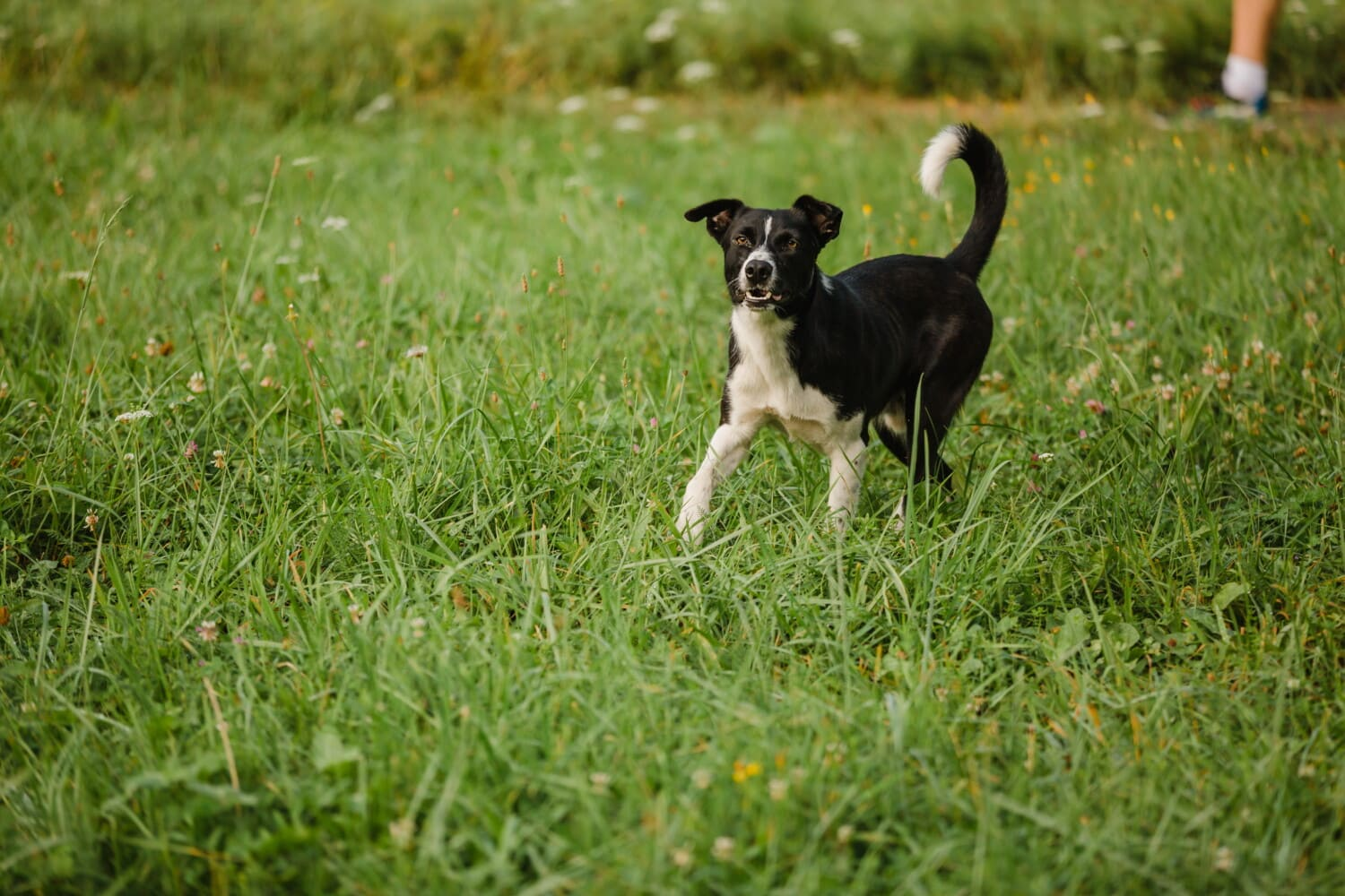 adorable, black, dog, walking, green grass, pet, hunting dog, canine, racer, grass