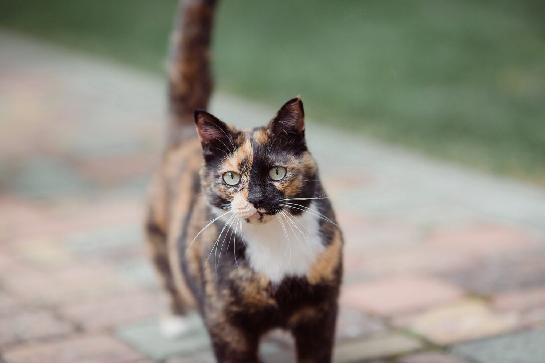 házimacska, tricolor, keres, portré, macska, hazai, cica, állat, házi kedvenc, szem