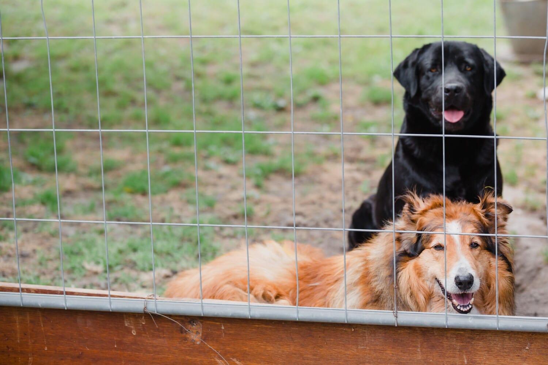 chien de berger écossais, mignon, chien, animal de compagnie, chien de berger, canine, domestique, animal, jeune, chiot