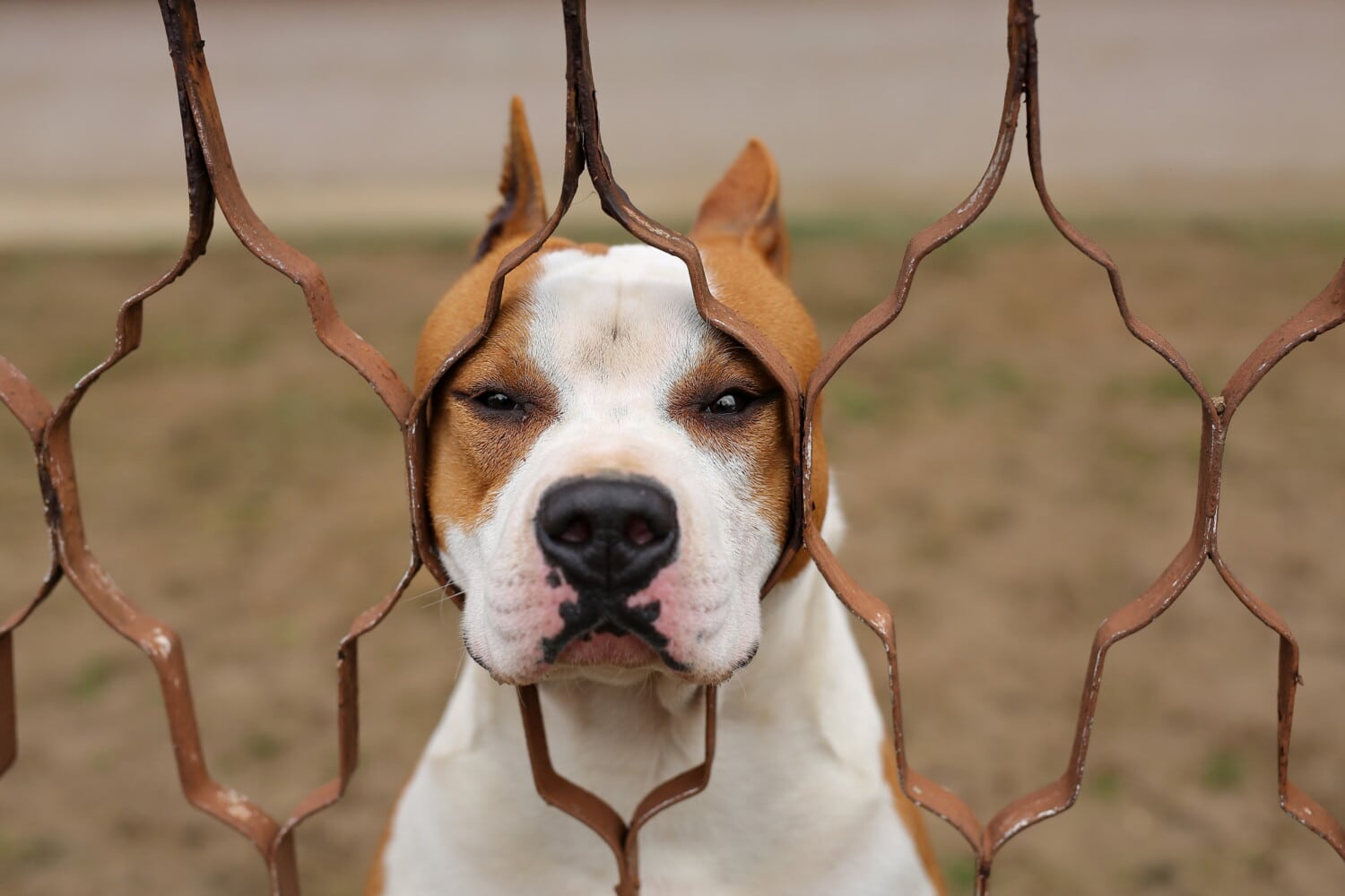 hunting dog, boxer, breed, dog, pet, canine, puppy, cute, funny, animal