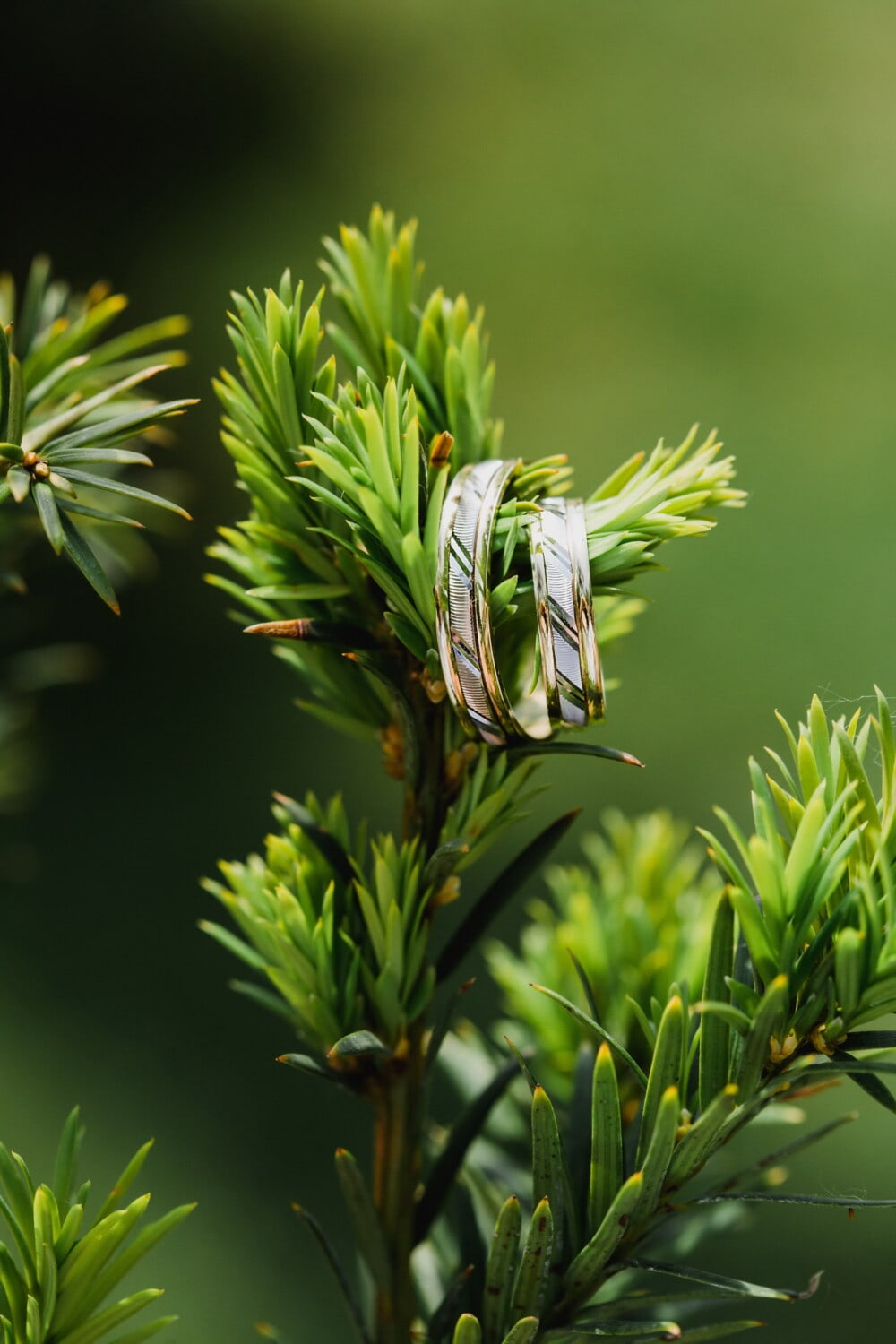 conifers, wedding ring, hanging, rings, golden shine, blur, plant, herb, evergreen, nature