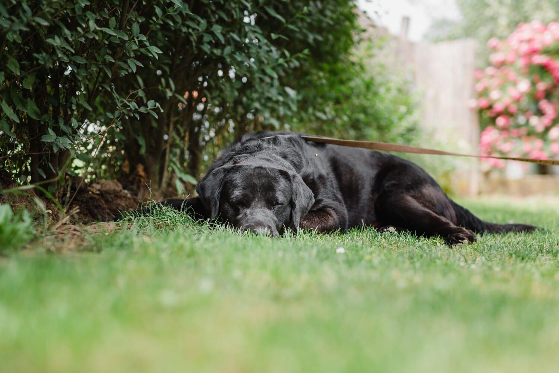 Schwarz, Hund, schlafen, Rasen, Gonczy Polski, Retriever, Gras, Haustier, Tier, Eckzahn