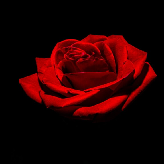 red, rose, photography, photo studio, close-up, dark, shadow, darkness, flower, romance