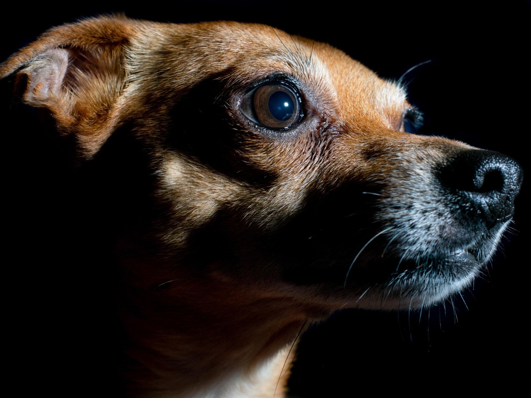 hunden, nært hold, stående, bilde studio, øye, nese, lys brun, rase, søt, kjæledyr