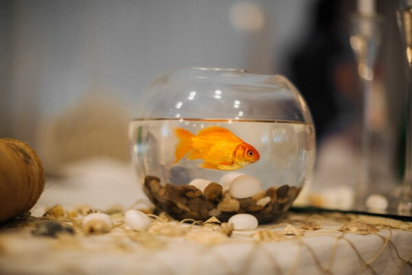 goldfish, aquarium, miniature, interior decoration, bowl, glass, fish, still life, indoors, blur