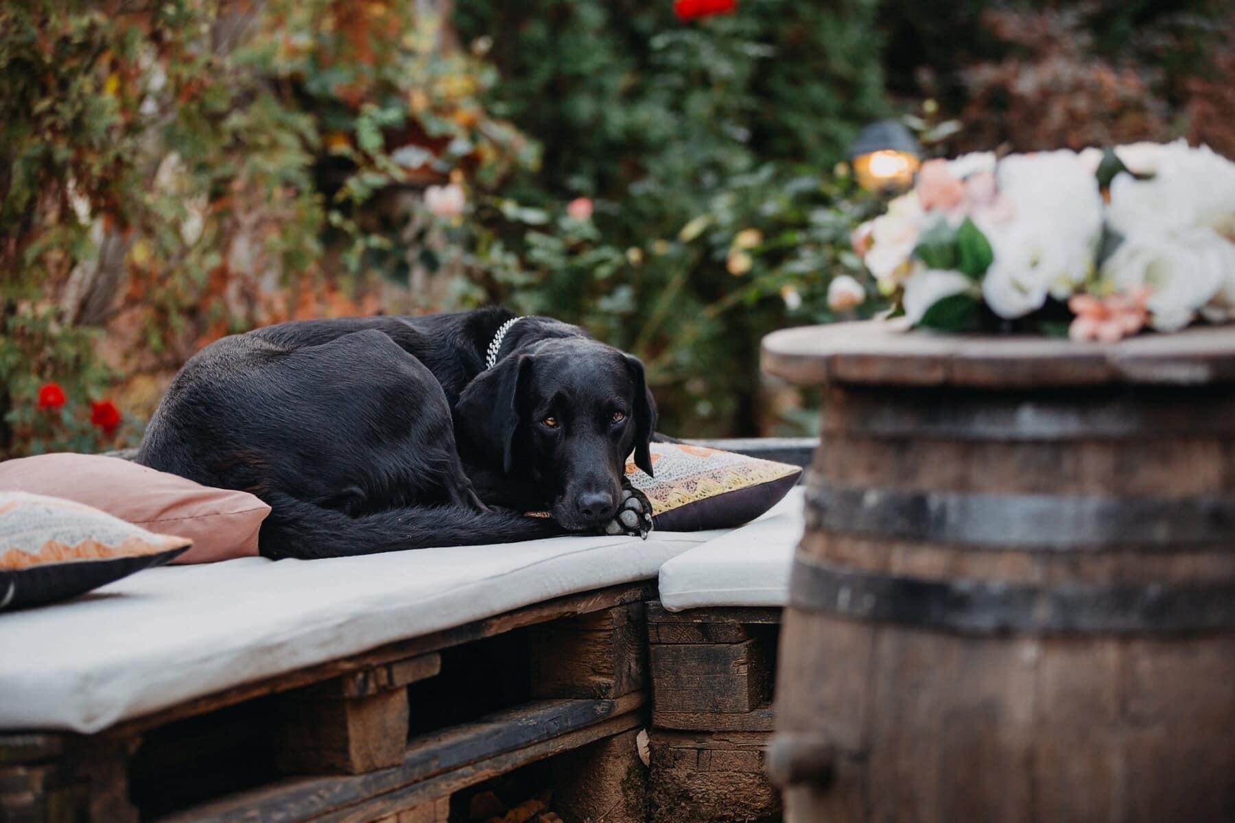Hund, Schwarz, Verlegung, Fass, Sitzbank, aus Holz, Gonczy Polski, Eckzahn, Welpe, Retriever