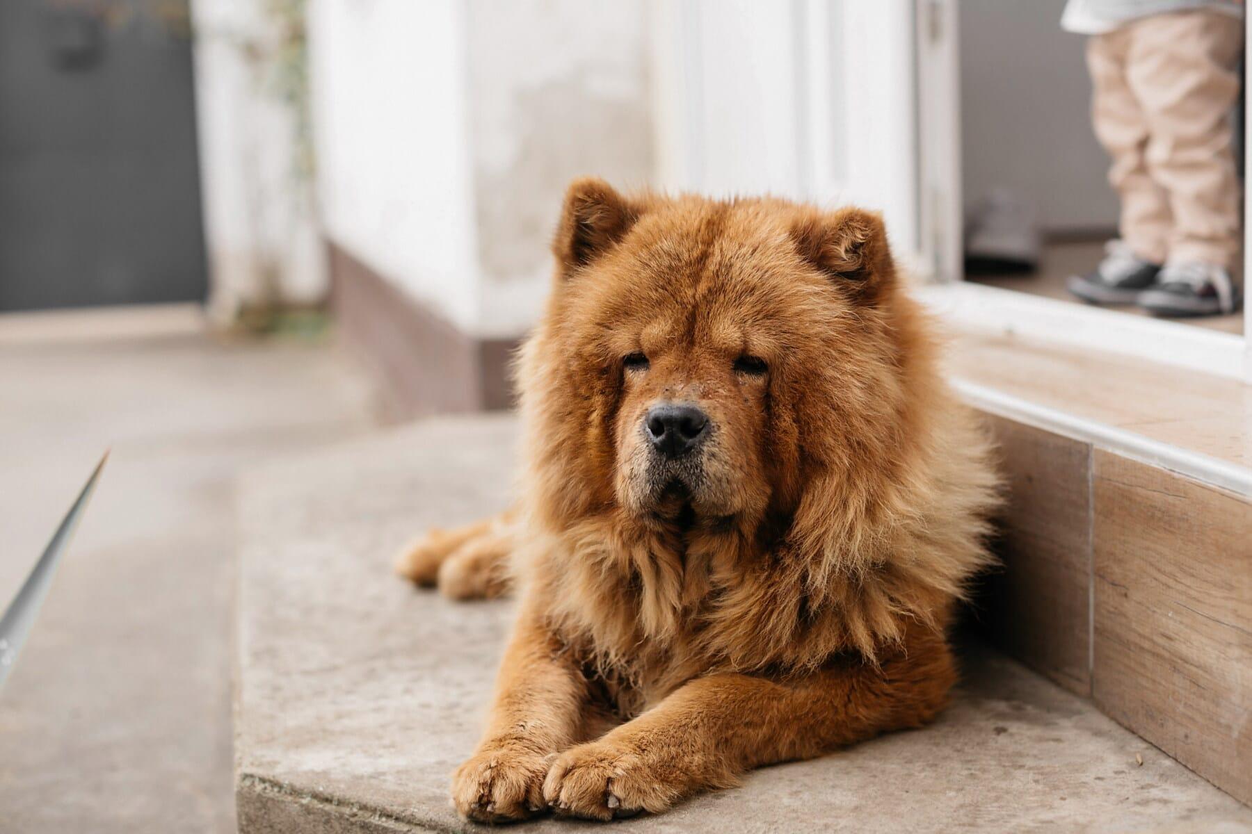chien, furry, ampoule, escaliers, portant, porte d'entrée, fourrure, portrait, œil, mignon