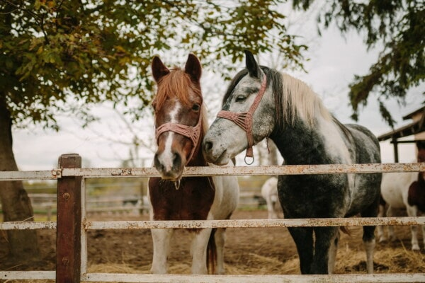 horses, animals, black and white, light brown, ranch, farmland, rail fence, brown, horse, farm