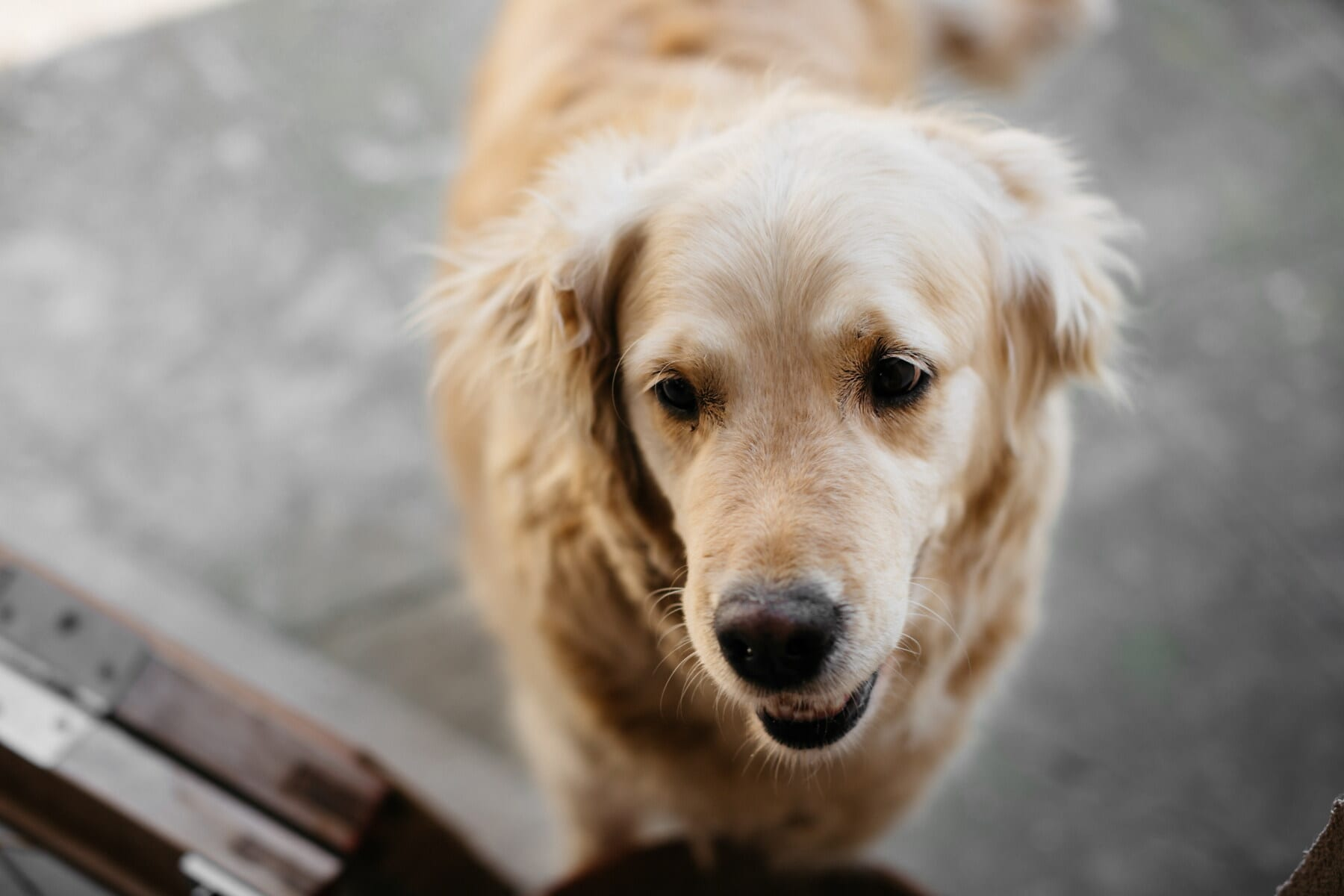 dog, cute, retriever, hunting dog, eye, funny, animal, portrait, looking, hair