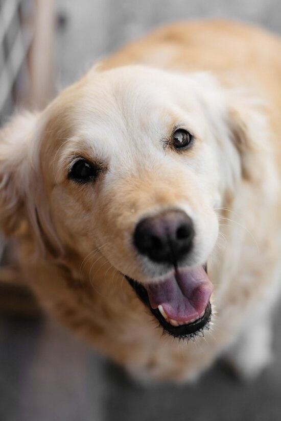 dog, pet, light brown, eyes, mouth, tongue, nose, head, close-up, breed