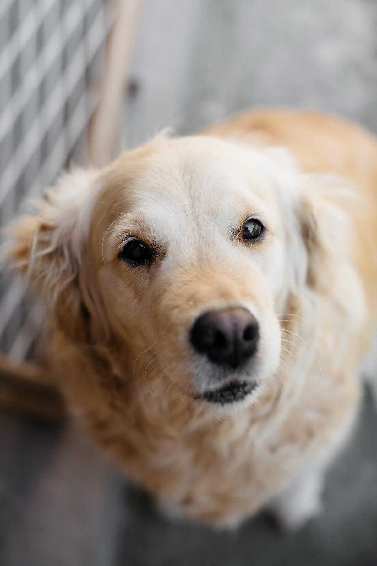 chien, brun clair, adorable, assis, chien de chasse, mignon, chien d'arrêt, fourrure, œil, drôle