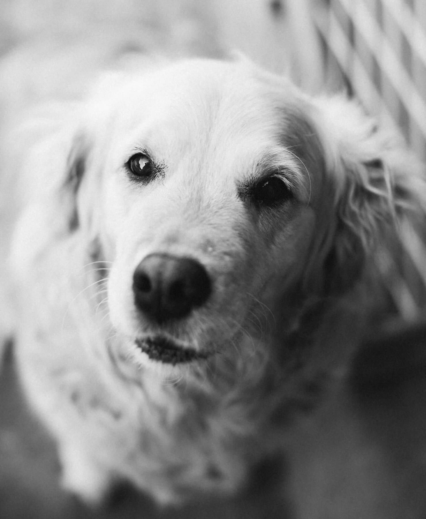 schwarz und weiß, Hund, grau, Sepia, Augen, Nase, Kopf, sitzen, Haustier, Pelz