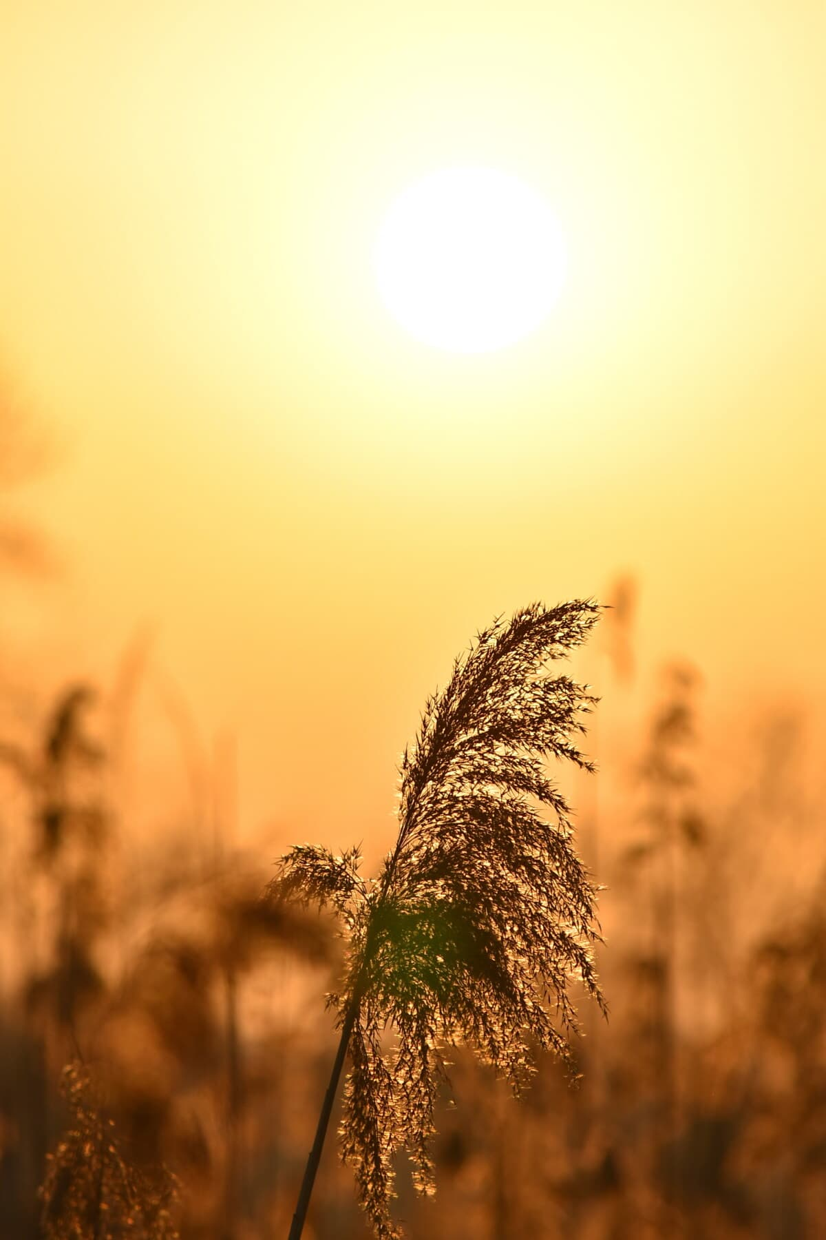marrom amarelado, silhueta, Luz do sol, campos de gramíneas, idílico, majestoso, pôr do sol, brilho, paisagem, sol