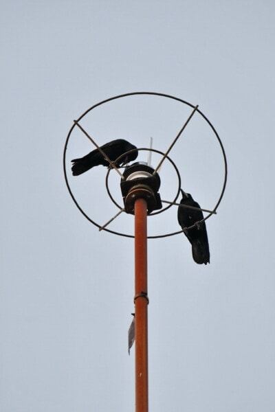 birds, black, crow, height, lightning rod, black bird, animals, device, bird, wire