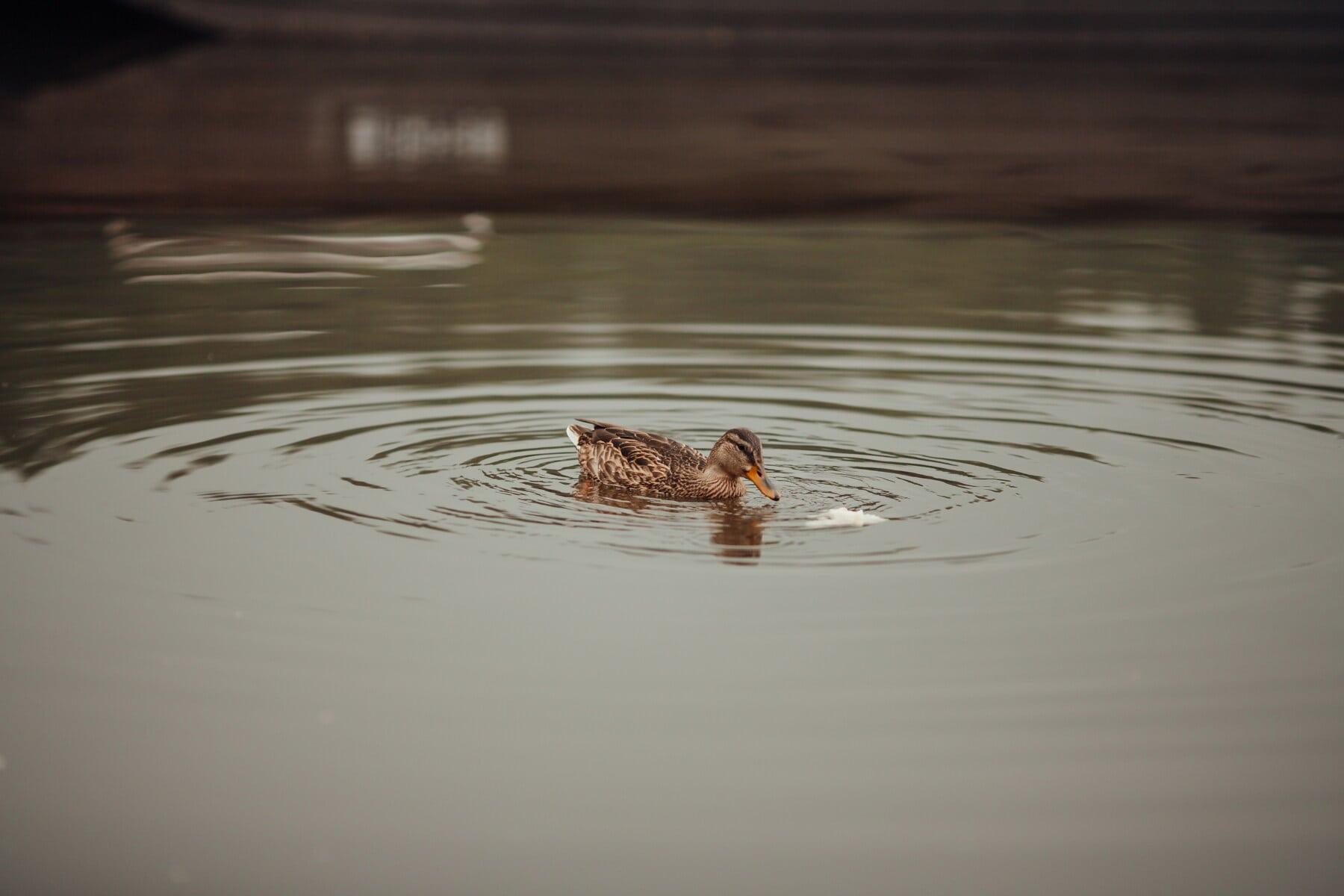 Anka, foder, simning, vattennivån, rippel, sjön, fågel, reflektion, göl, floden