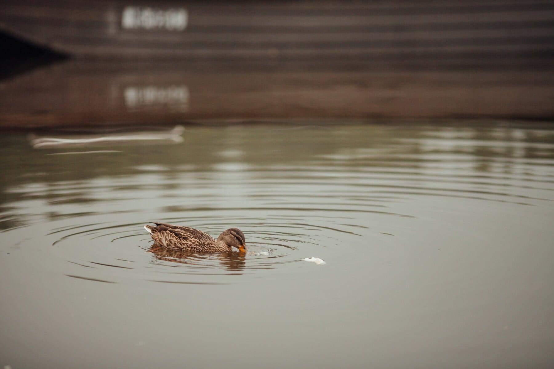 light brown, mallard, feeding, natural habitat, wilderness, wildlife, reflection, bird, water, lake