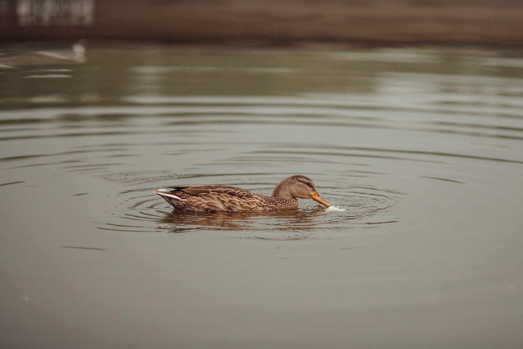 oiseaux de rivage, Lac, canard, sauvagine, faune, oiseau échassier, eau, oiseau, piscine, rivière