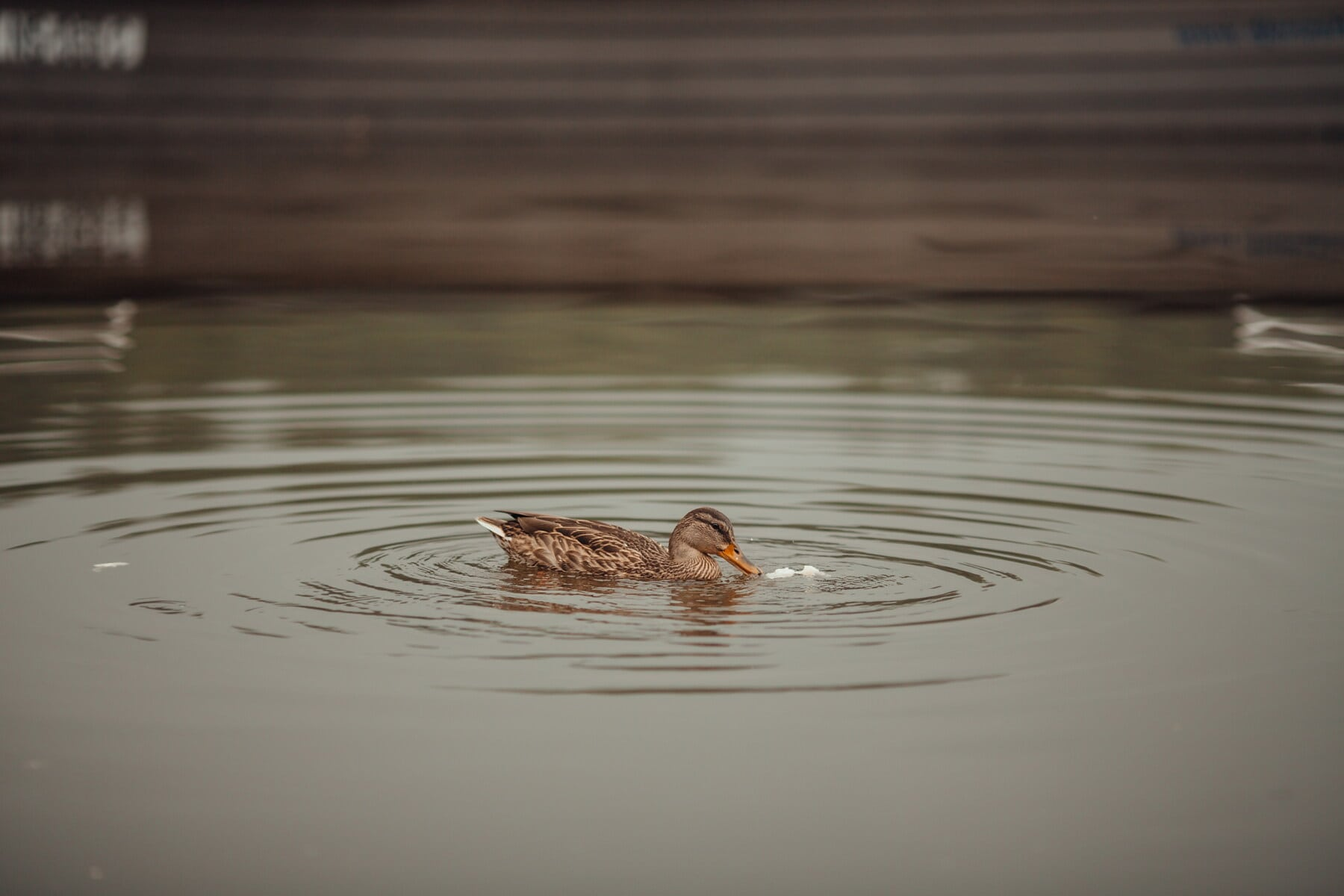 duck, swimming, mallard, wading bird, shorebird, aquatic bird, water, waterfowl, lake, bird